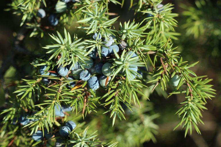 Easy Planting Ideas: Juniperus horizontalis