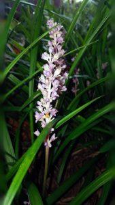 Easy Planting Ideas: Liriope muscari
