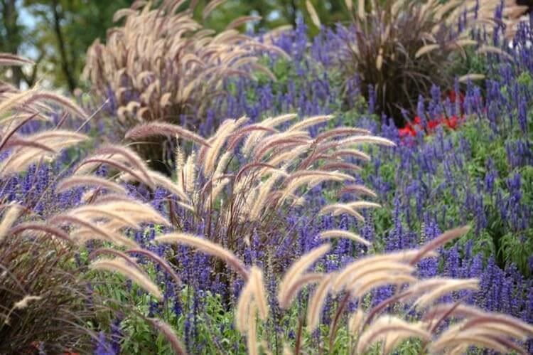 Easy Planting Ideas: Purple Fountain Grass and Mealy-Cup Sage