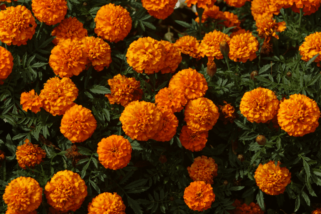Marigolds planted as a spring annual.