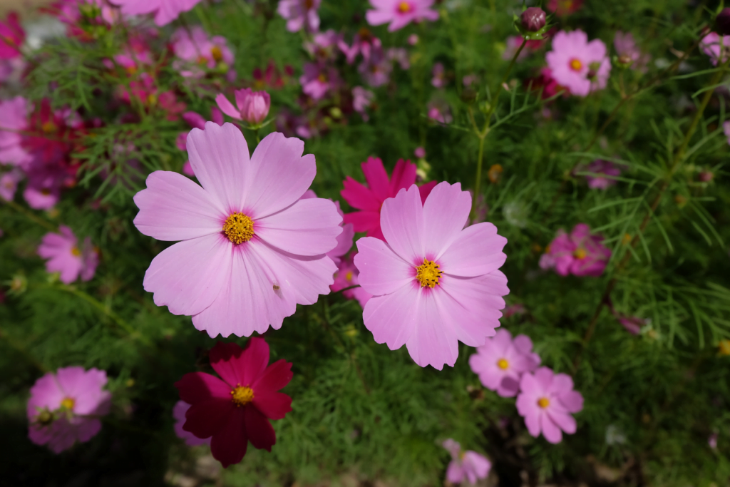 Cosmos spring annual flowers