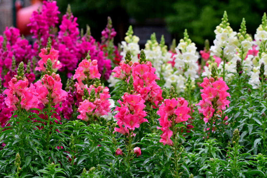 Snapdragon spring annual flowers