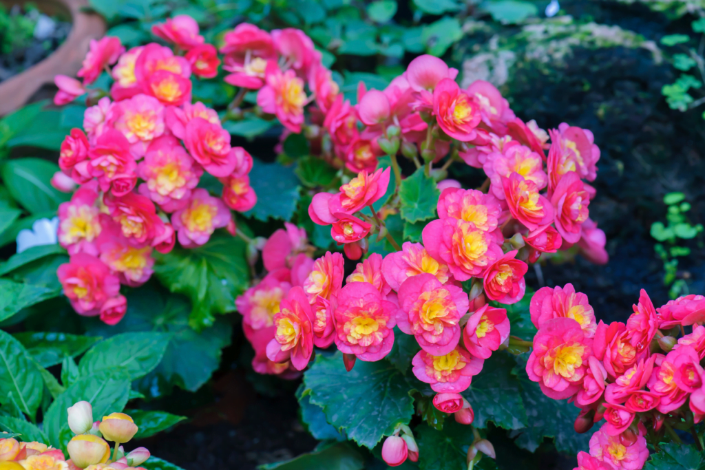 Begonia spring annual flowers