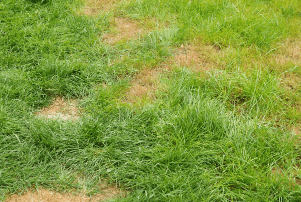 Charlotte lawn with brown spots